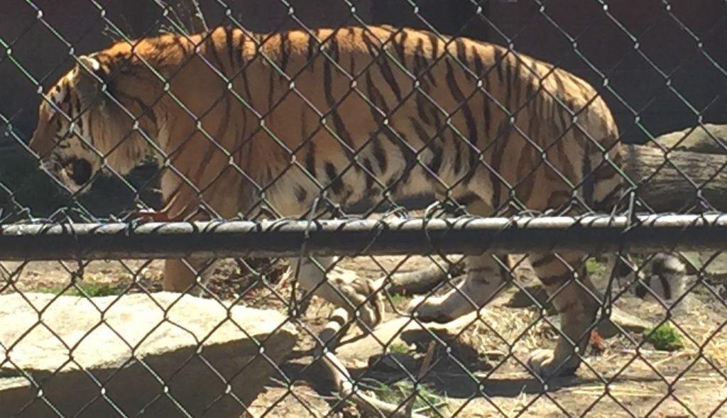 Tiger, Tiger Burning Bright. photo by Corrina Lawson